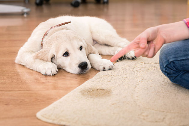 How to stop your dog from peeing on the carpet